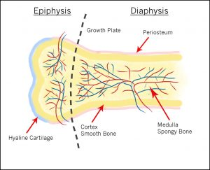 Anatomy of bones showing the end of bone Epiphysis, and shaft of bone Diaphysus
